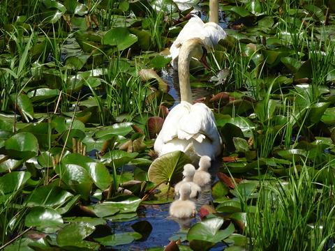 白鳥のヒナ1