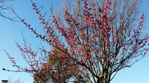 大洲防災公園の梅開花