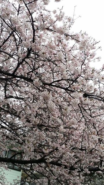 里見公園の桜2016