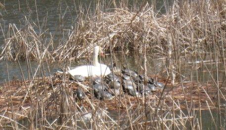 こざと公園の白鳥が産卵