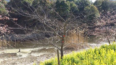 河津桜被害2
