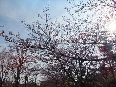 大洲防災公園の桜