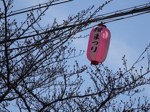 曽谷小学校前の桜2017