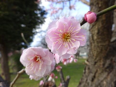 大川原梅園のピンク色の梅