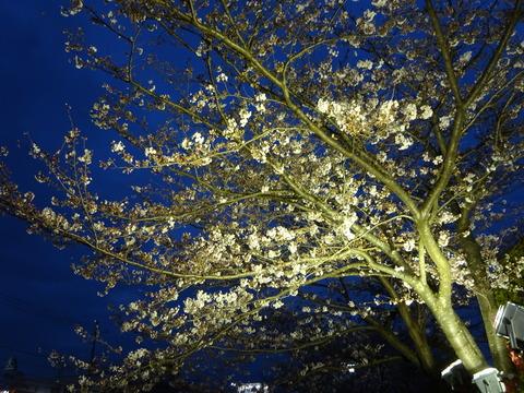 JAいちかわ本店前の桜