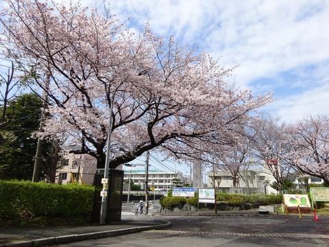 国府台スポーツセンターの桜2017