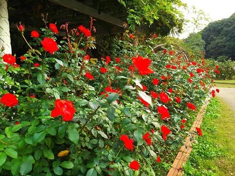 image1_赤バラ