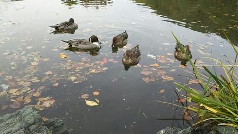 じゅんさい池のカモ