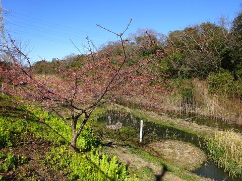 欠真間三角の河津桜