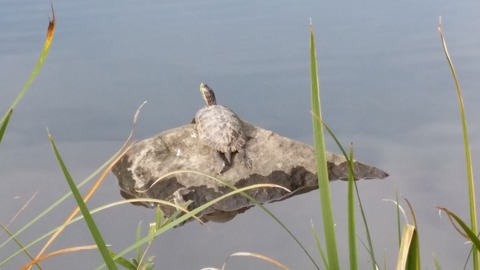 じゅんさい池の亀