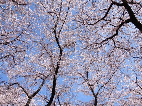 国府台の桜