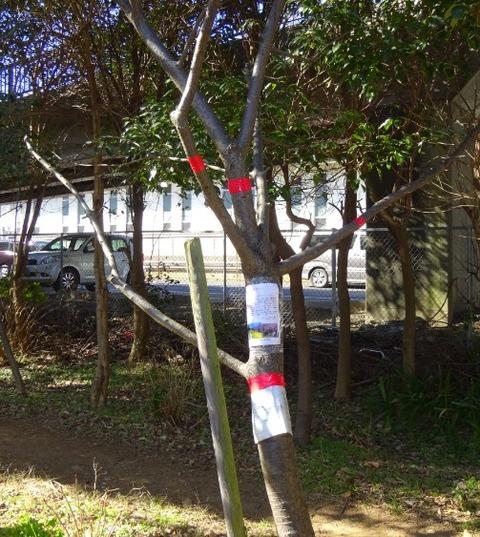 河津桜被害4