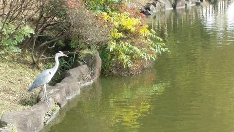 じゅんさい池のクロサギ