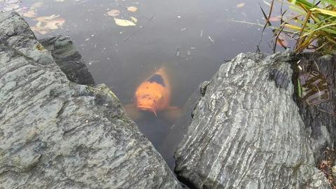 じゅんさい池の鯉