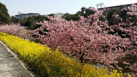 塩浜橋近くの河津桜2016