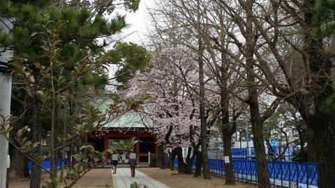 葛飾八幡宮桜2016