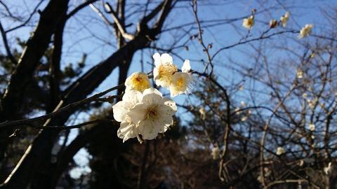 大洲防災公園の白い梅2017