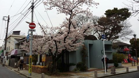 葛飾八幡宮の桜2016