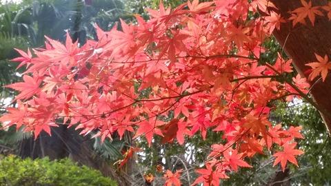 市川市須和田公園紅葉2016
