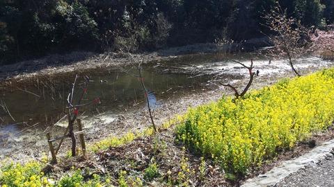 河津桜被害