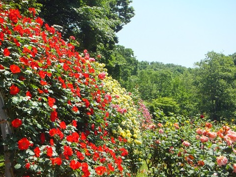 市川市動植物園バラ2017春