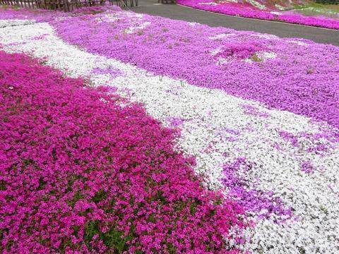 市川市郭沫若記念館の芝桜2017